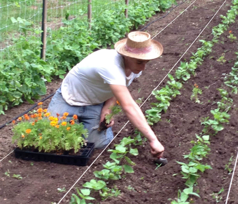 companion planting beans and marigolds